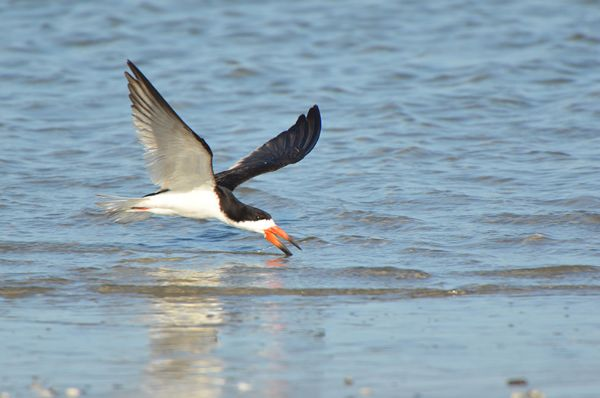 Black Skimmer feeding